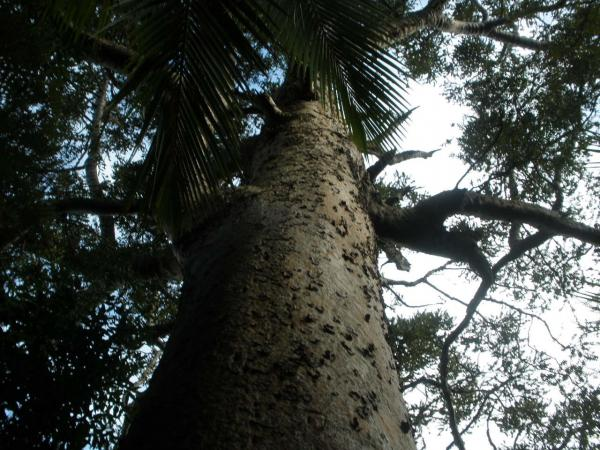 Kauri in Goldies Bush Reserve - this big guy is just 2 minutes walk from Constable Rd carpark